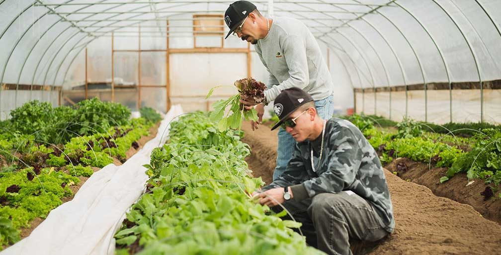 Two men picking lettuce in a greenhouse
